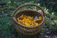 Cogumelos escolhidos na cesta Fotos de Stock