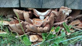 Cogumelos escondidos sob a plataforma de madeira Foto de Stock Royalty Free