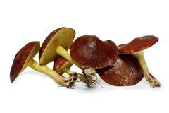 Cogumelos escorregadiços do jaque (granulatus do Suillus) isolados no fundo branco Fotos de Stock Royalty Free