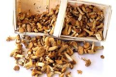 Cogumelos frescos Fotografia de Stock