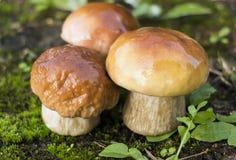 Cogumelos frescos Imagem de Stock Royalty Free