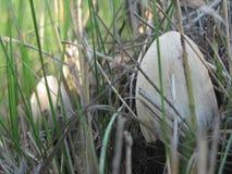Cogumelos Inedible Imagens de Stock Royalty Free