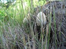 Cogumelos Inedible Foto de Stock