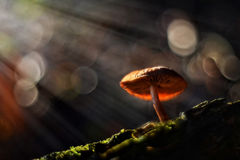Cogumelos mágicos Fotografia de Stock