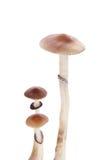 Cogumelos mágicos psicadélicos Imagens de Stock Royalty Free