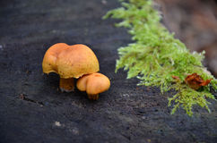 Cogumelos macro da fotografia Foto de Stock Royalty Free