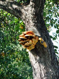 Cogumelos na árvore Fotografia de Stock