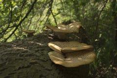Cogumelos na árvore inoperante imagens de stock