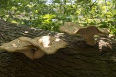 Cogumelos na árvore inoperante imagem de stock