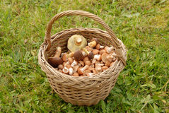 Cogumelos na cesta Fotos de Stock