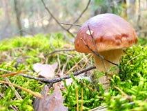 Cogumelos na floresta Foto de Stock Royalty Free