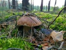 Cogumelos na floresta Foto de Stock