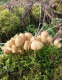 Cogumelos na floresta de Heartswood Imagens de Stock