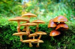 Cogumelos na floresta do outono Imagens de Stock