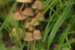 Cogumelos na grama Fotografia de Stock