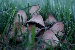 Cogumelos na grama Foto de Stock