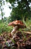 Cogumelos na grama Fotos de Stock Royalty Free