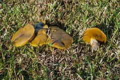Cogumelos na grama Imagem de Stock