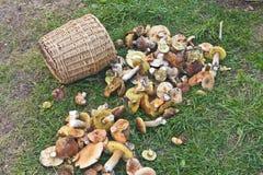 Cogumelos na grama Imagens de Stock