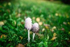 Cogumelos na grama Foto de Stock Royalty Free