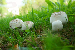 cogumelos na grama Imagem de Stock Royalty Free