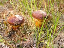 Cogumelos na grama do outono Os cogumelos comestíveis são marrons Imagem de Stock Royalty Free