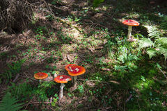 Cogumelos na grama na floresta Foto de Stock