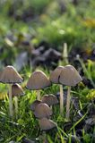 Cogumelos na grama verde Fotografia de Stock