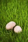 Cogumelos na grama verde Fotos de Stock