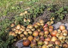 Cogumelos na grama verde Fotos de Stock Royalty Free