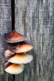 Cogumelos na madeira Fotos de Stock Royalty Free