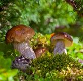 Cogumelos na vegetação verde Imagens de Stock Royalty Free