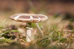 Cogumelos nas madeiras em Letónia Imagens de Stock