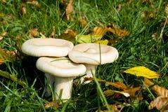Cogumelos no campo imagem de stock royalty free