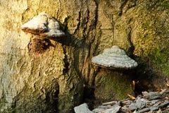 Cogumelos no coto de árvore Fotos de Stock