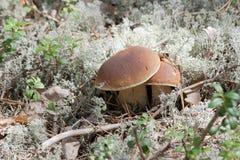 Cogumelos no musgo Fotografia de Stock Royalty Free