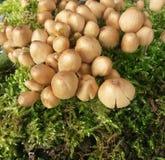 Cogumelos no musgo Imagem de Stock
