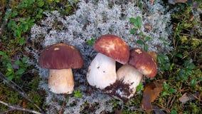 Cogumelos no musgo nórdico Imagens de Stock Royalty Free