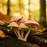 Cogumelos no outono da floresta Imagens de Stock