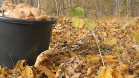 Cogumelos no outono da floresta, folha amarela Uma cubeta dos cogumelos Escolhendo cogumelos na floresta do outono video estoque