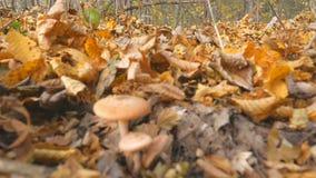 Cogumelos no outono da floresta, folha amarela Uma cubeta dos cogumelos Escolhendo cogumelos na floresta do outono vídeos de arquivo