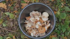 Cogumelos no outono da floresta, folha amarela Uma cubeta dos cogumelos Escolhendo cogumelos na floresta do outono filme