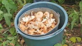 Cogumelos no outono da floresta, folha amarela Uma cubeta dos cogumelos Homens que escolhem cogumelos na floresta do outono filme