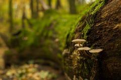 Cogumelos no tronco de árvore Imagens de Stock