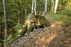 Cogumelos no tronco de árvore Fotografia de Stock