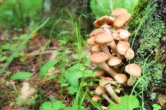 Cogumelos ou armillaria de mel Imagem de Stock Royalty Free