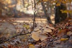 Cogumelos Parque nacional de Sevenlakes em Autumn Bolu Turkey Parque do milli de Yedigoller imagem de stock