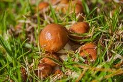 Cogumelos pequenos Foto de Stock