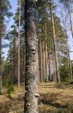 Cogumelos pequenos do fungo, crescidos no vidoeiro velho na floresta imagem de stock