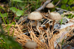 Cogumelos pequenos na floresta Fotos de Stock Royalty Free